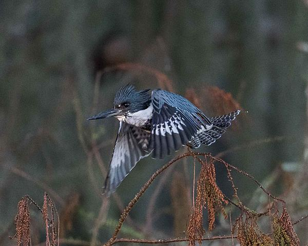 Post your birds (2)-belted-kingfisher-1.jpg
