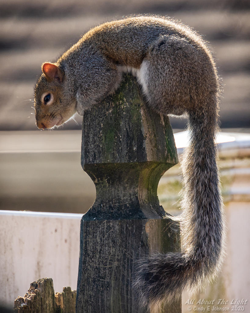 Post your Squirrel pictures-_dsc3847-low-res.jpg