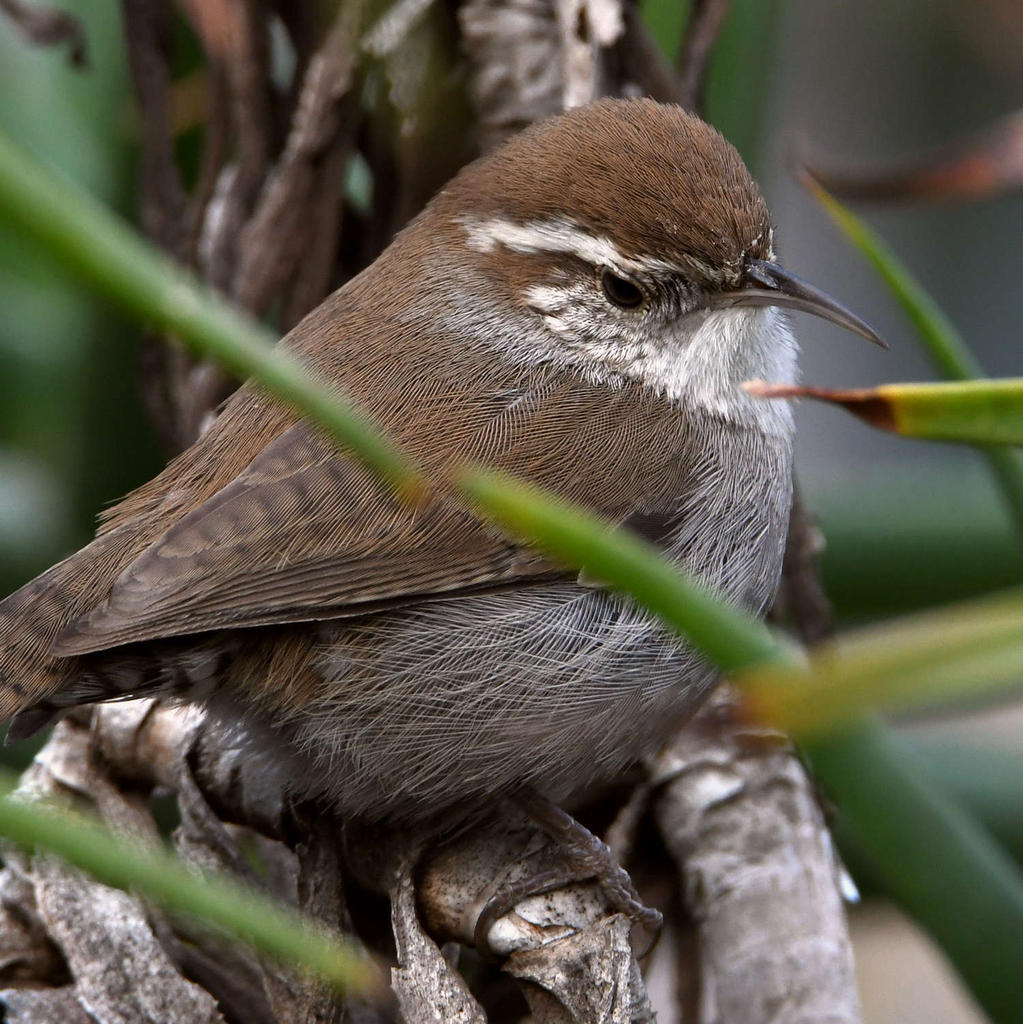 Post your birds (2)-wren3.jpg