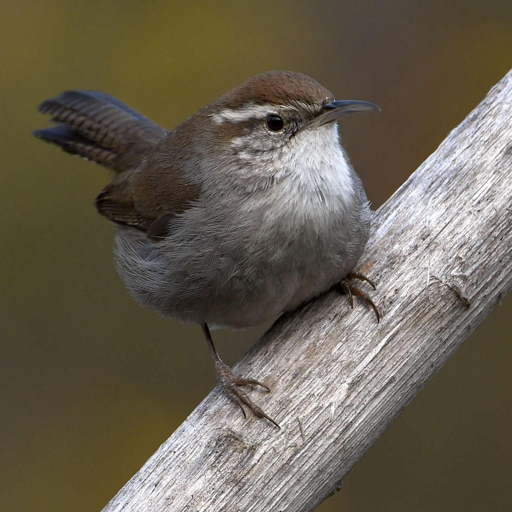 Post your birds (2)-wren8.jpg