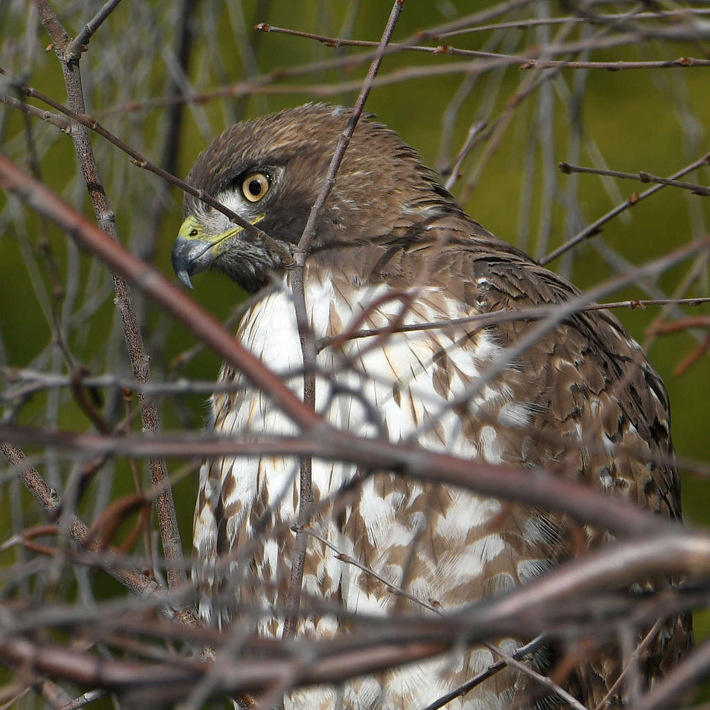 Post your birds (2)-hawk3.jpg