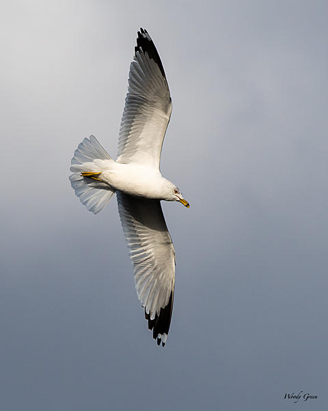 Post your Birds in Flight-gullflight-510.jpg