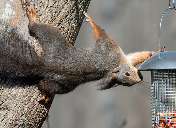 Post your Squirrel pictures-d810-9662_2.jpg