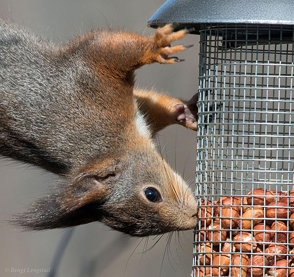 Post your Squirrel pictures-d810-9665.jpg