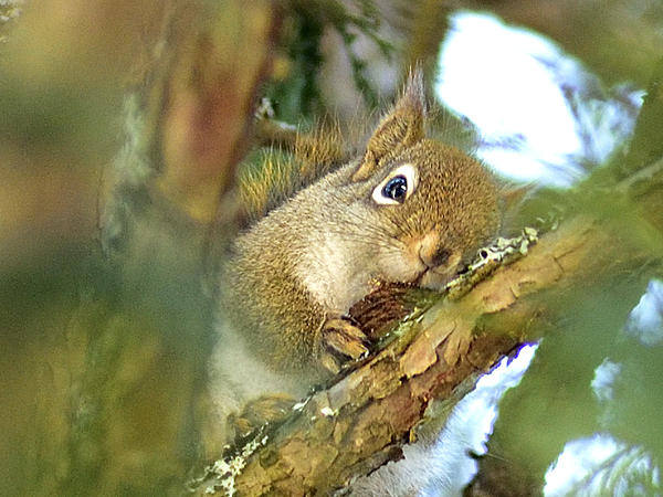 Post your Squirrel pictures-red-squirrel_037.jpg