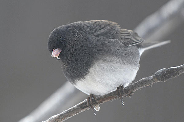 Post your birds (2)-junco-31-mar-2020.jpg