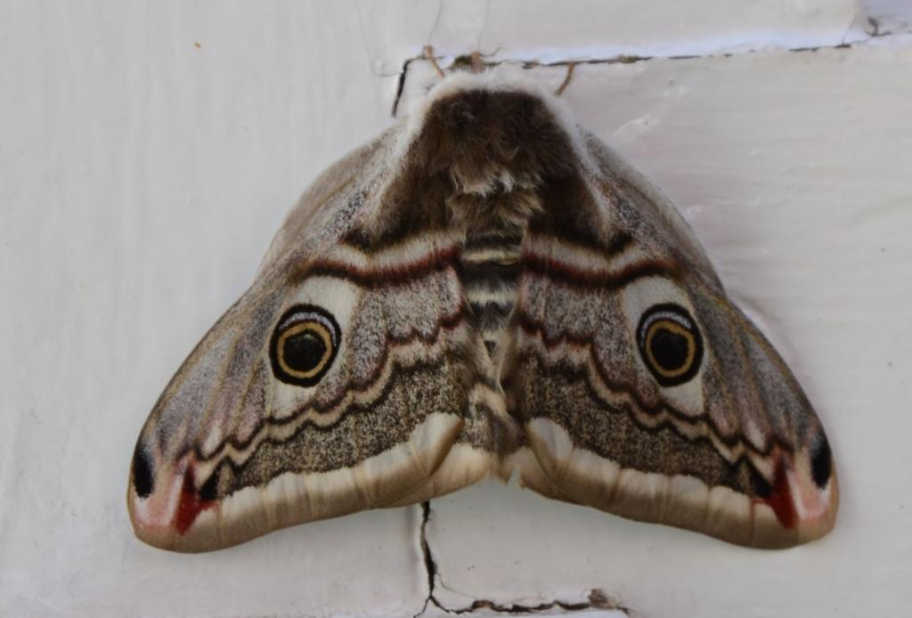 Post your Moths & Butterflies-dsc_3448.jpg