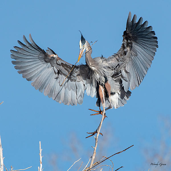 Post your Birds in Flight-gbhlanding-500.jpg