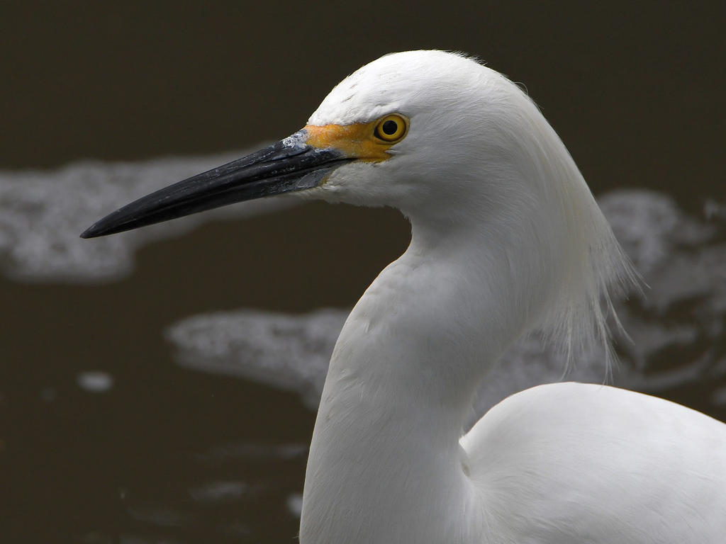 Post your birds (2)-egret7.jpg