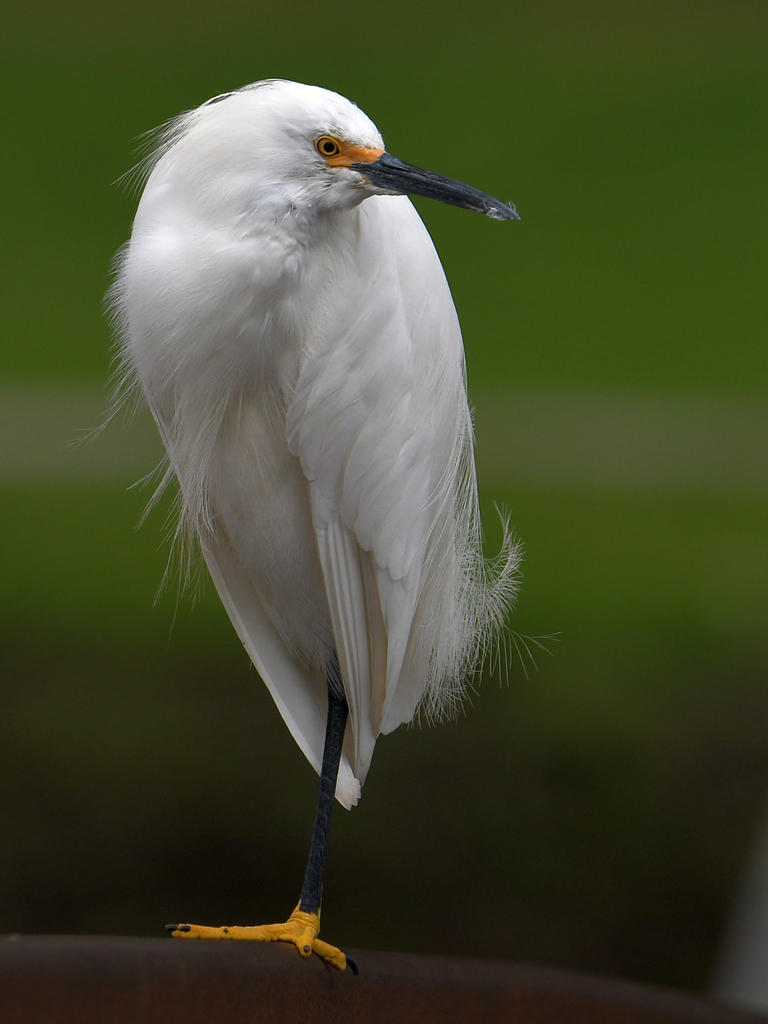 Post your birds (2)-egret14.jpg