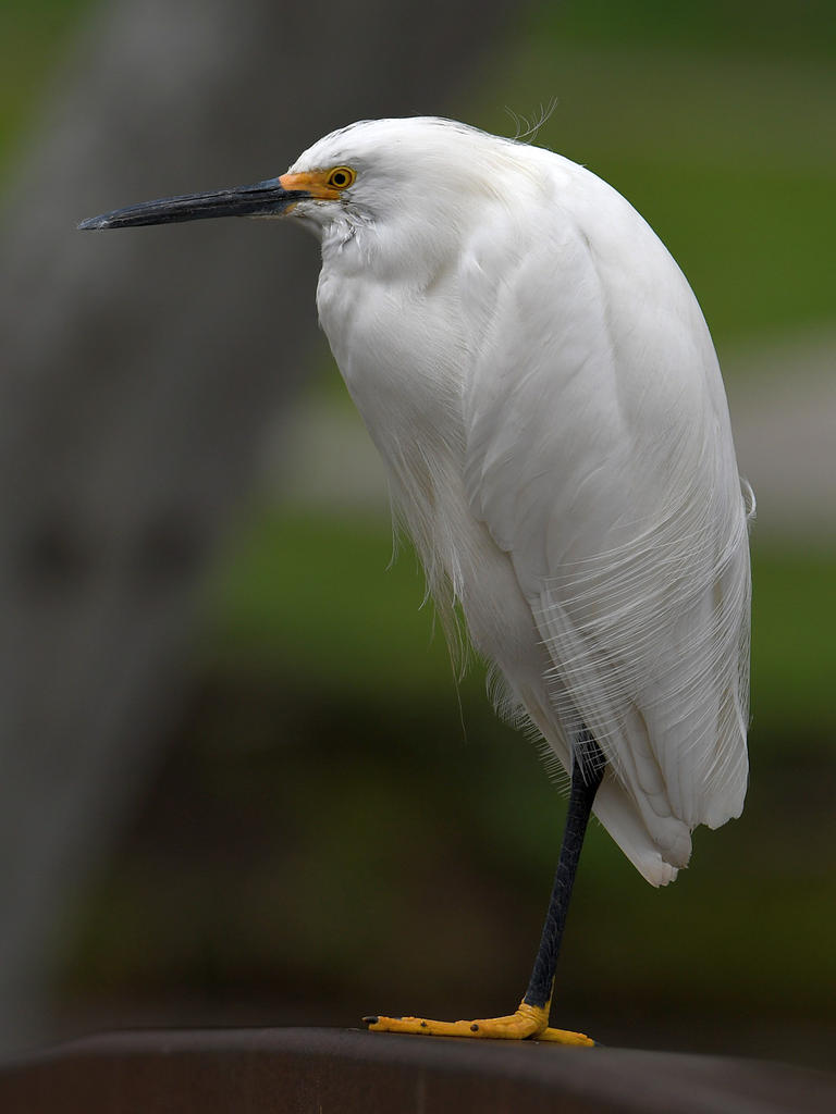 Post your birds (2)-egret19.jpg