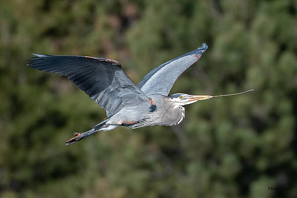 Post your Birds in Flight-gbhflight-525.jpg