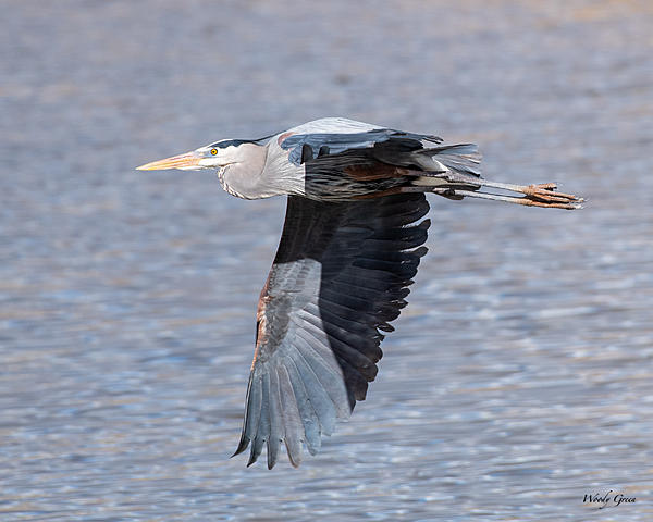 Post your Birds in Flight-gbhflight-553.jpg