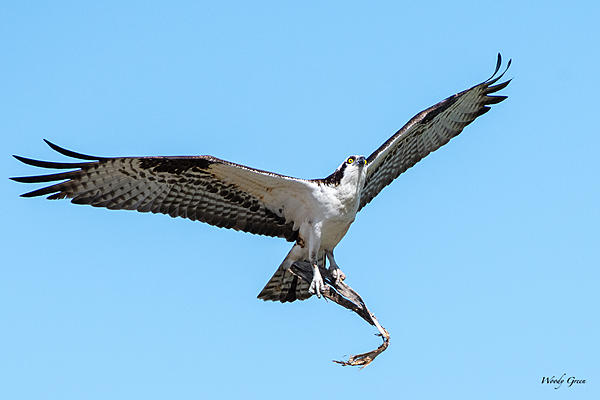 Post your Birds in Flight-ospreyflight-526.jpg