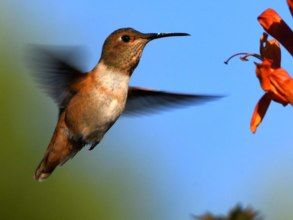 Post your Birds in Flight-hummer2.jpg