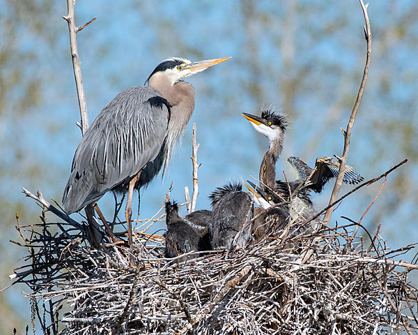 Post your birds (2)-gbhnestbaby-520.jpg