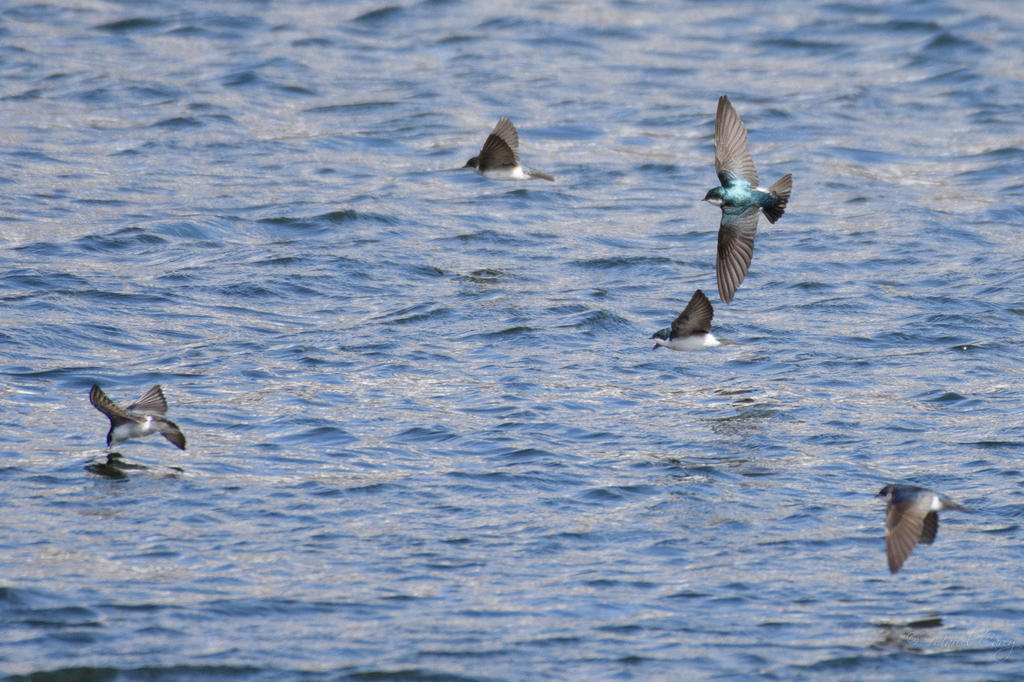 Post your Birds in Flight-d73_0998.jpg