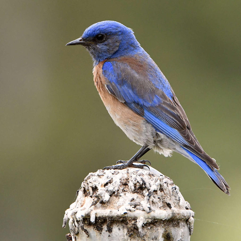 Post your birds (2)-bluebird4.jpg
