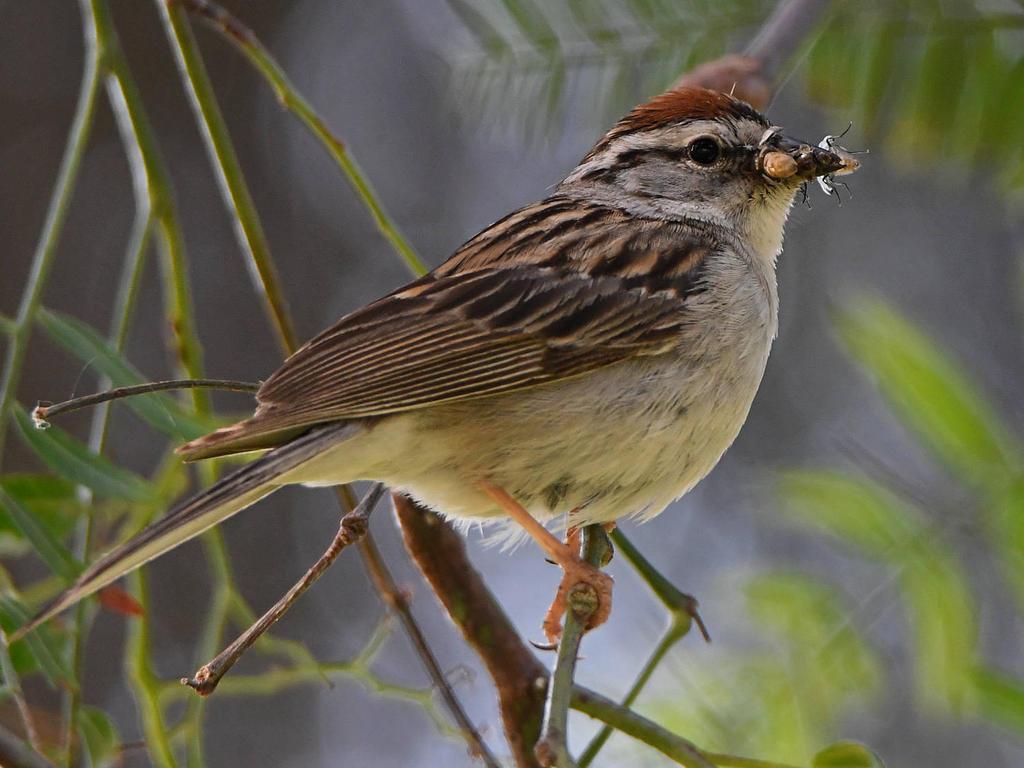 Post your birds (2)-chippingsparrow5.jpg