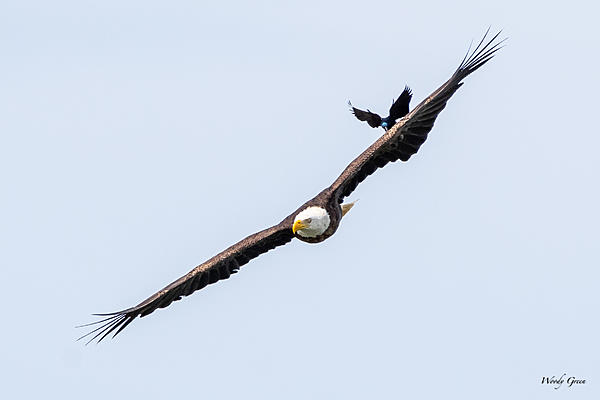 Post your Birds in Flight-grackleeagle-501.jpg