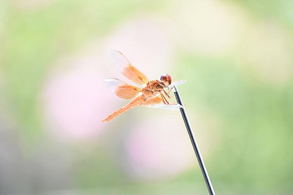 Post your dragonflies and bees/wasps-2020-07-05-12.45.38-s.jpeg