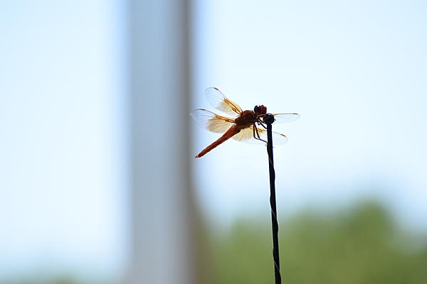 Post your dragonflies and bees/wasps-2020-07-05-12.48.35-s.jpeg