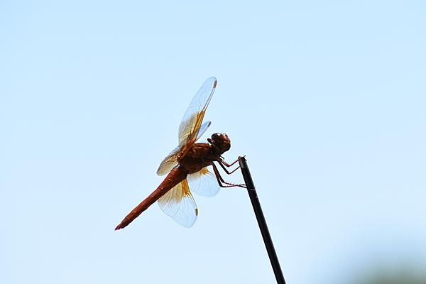 Post your dragonflies and bees/wasps-2020-07-05-12.51.49-s.jpeg