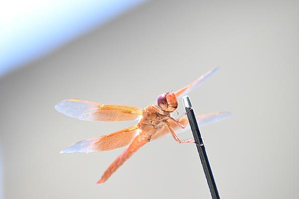 Post your dragonflies and bees/wasps-2020-07-05-12.52.56-s.jpeg