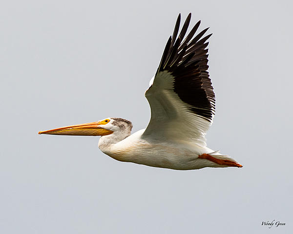 Post your Birds in Flight-pelicanflight-532.jpg