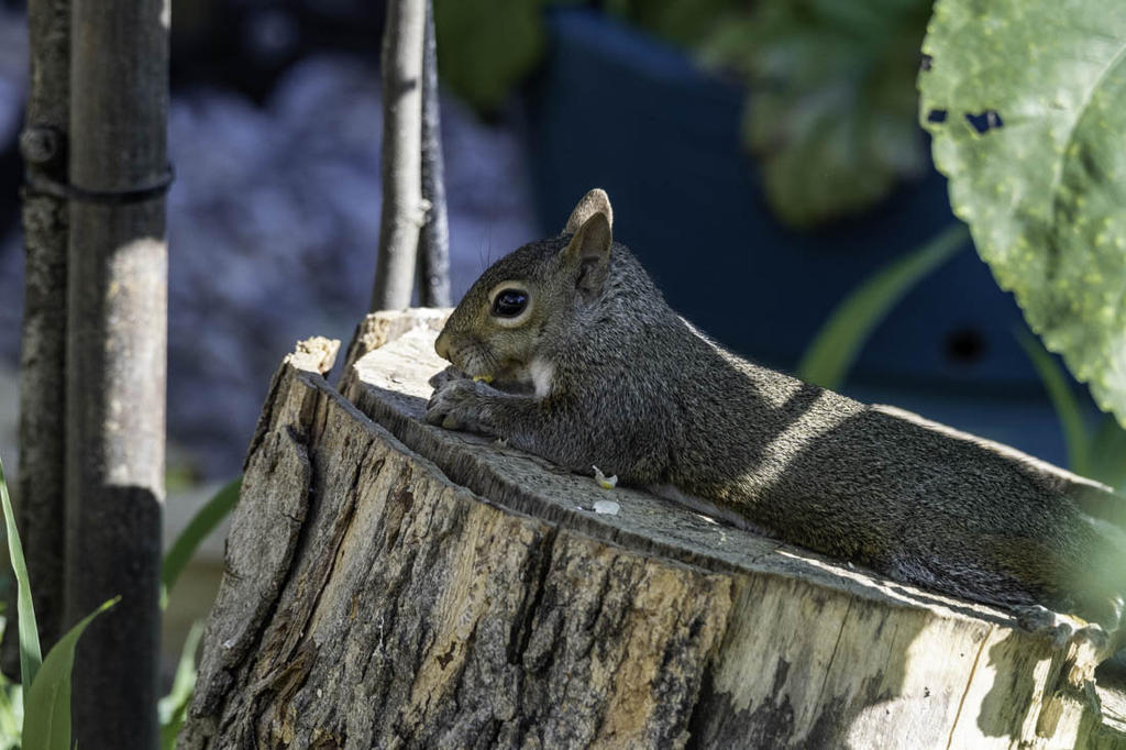 Post your Squirrel pictures-20200711-rd5_9926.jpg