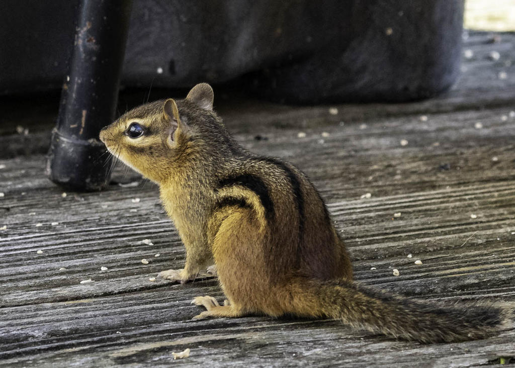 Post your Squirrel pictures-20200709-rd5_9882.jpg