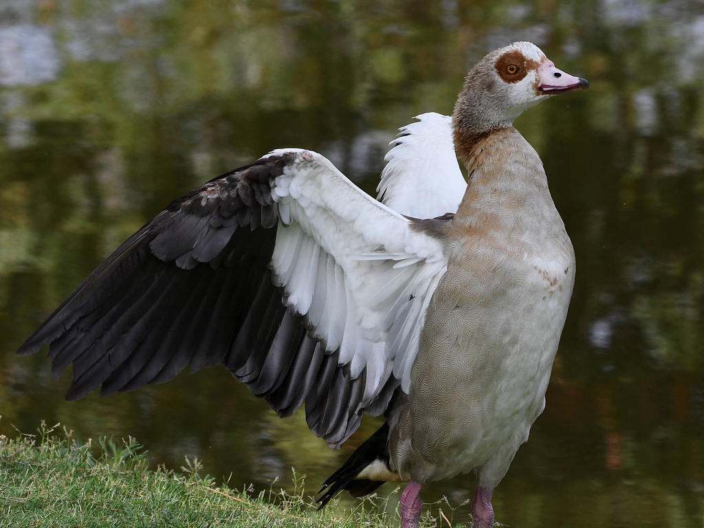 Post your birds (2)-goose4.jpg