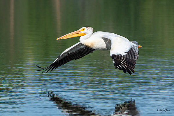 Post your Birds in Flight-pelicanflight-560.jpg