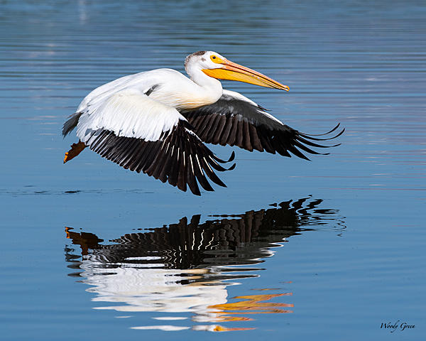 Post your Birds in Flight-pelicanflight-565.jpg