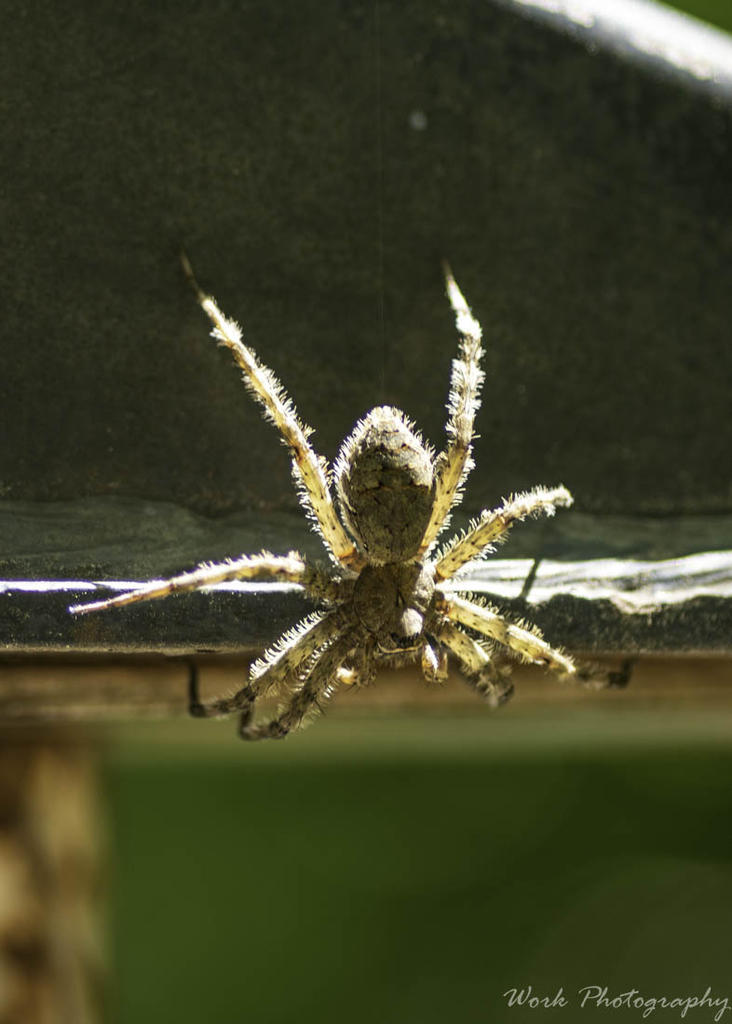 Post your spiders-20200726-r81_4598.jpg