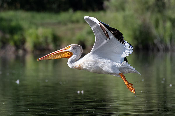 Post your Birds in Flight-pelicanflight-569.jpg