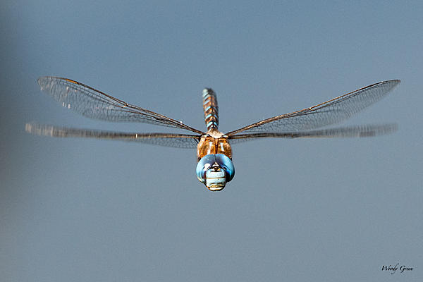 Post your dragonflies and bees/wasps-dfflight-550.jpg