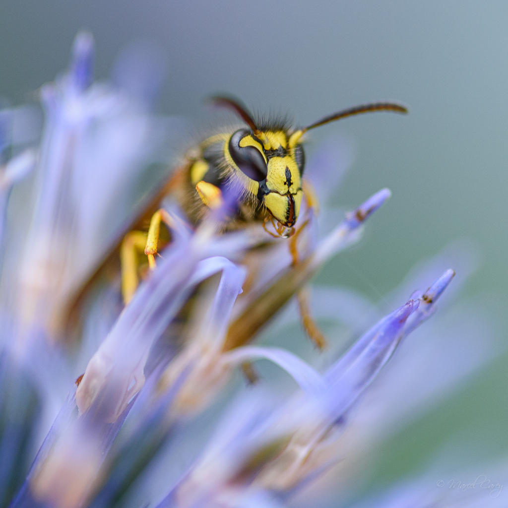 Post your dragonflies and bees/wasps-2mc_3580.jpg