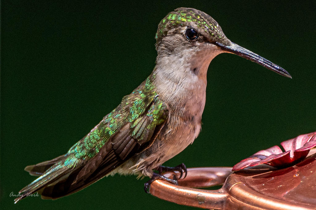 Post your Hummingbird Photos-untitled-1832.jpg