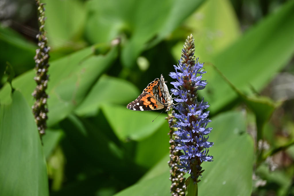 Post your Moths & Butterflies-painted-lady_01_sm.jpg