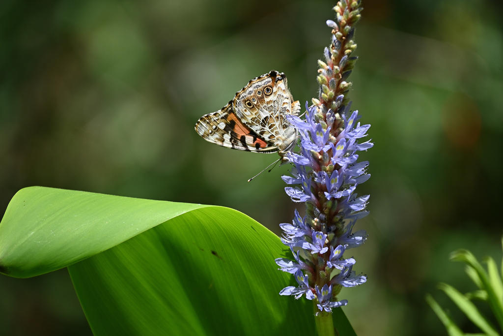 Post your Moths & Butterflies-painted-lady_02_sm.jpg