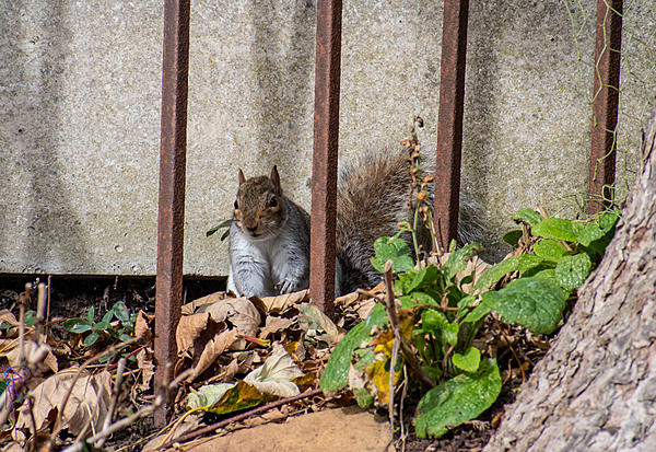 Post your Squirrel pictures-winter-chubby.jpg