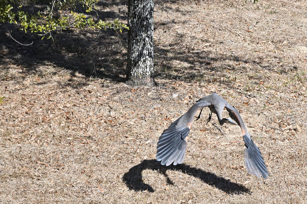 Post your Birds in Flight-z50_0058_04_cr_sm.jpg