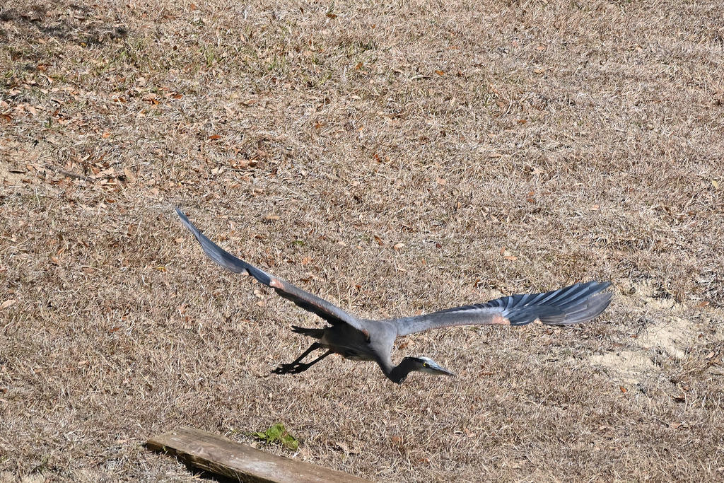 Post your Birds in Flight-z50_0060_06_cr_sm.jpg
