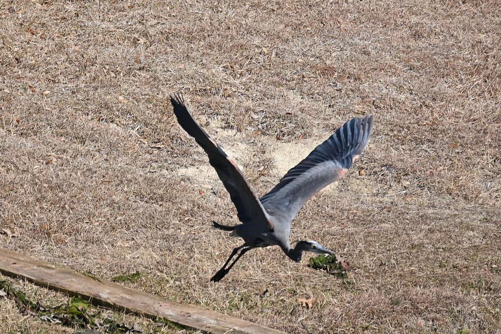 Post your Birds in Flight-z50_0061_07_cr_sm.jpg