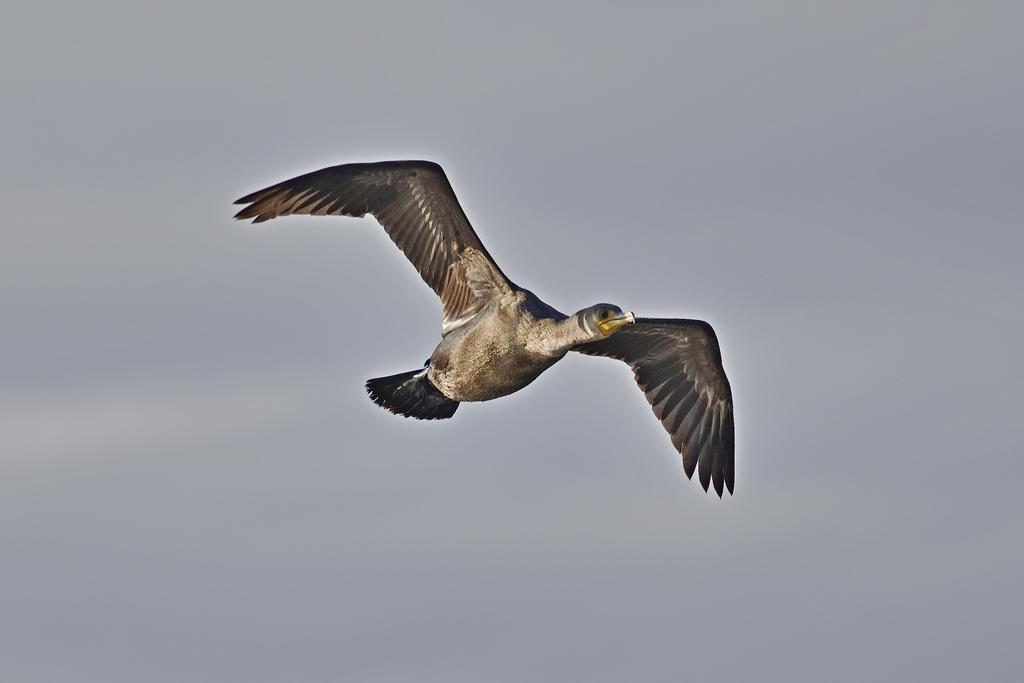 Post your Birds in Flight-75f_0034_04_ll_cr.jpg
