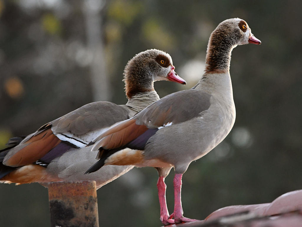 Post your birds (2)-geese.jpg