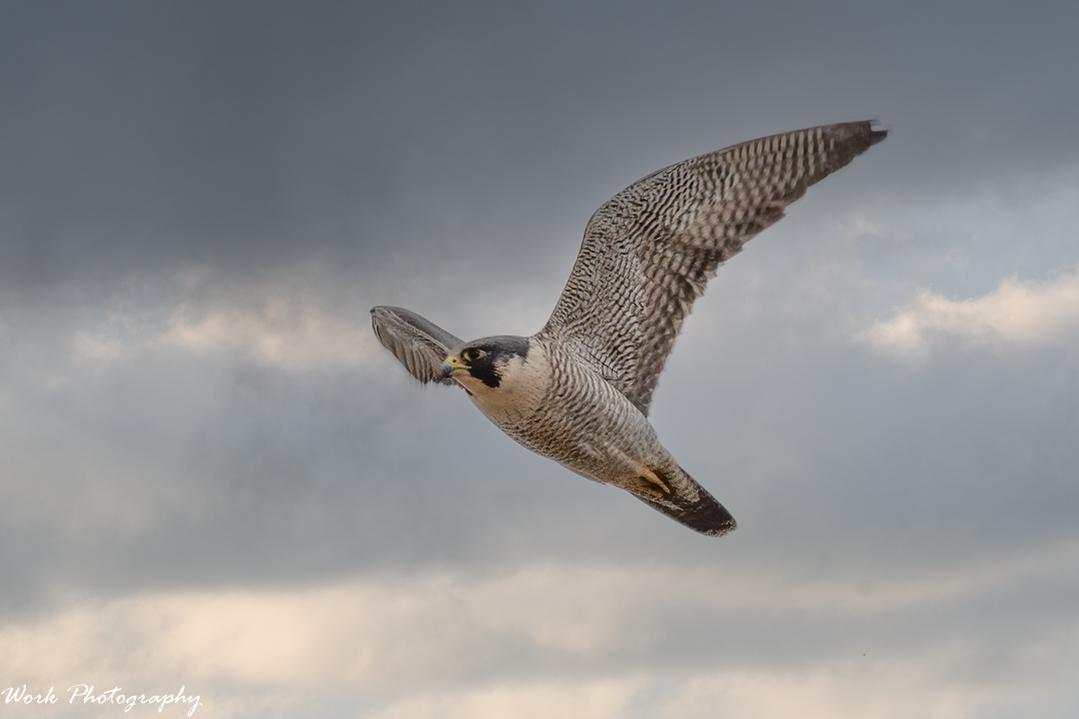 Post your Raptors-20210103-rd5_5415_peregrine-falcon.jpg