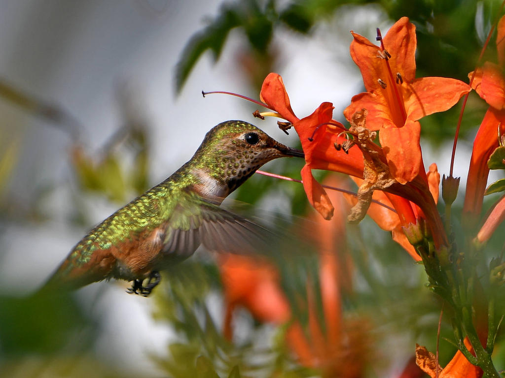 Post your Birds in Flight-hummer.jpg