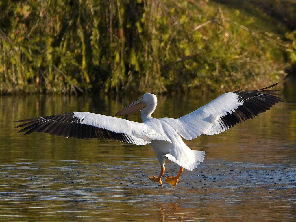 Post your Birds in Flight-pelican2.jpg